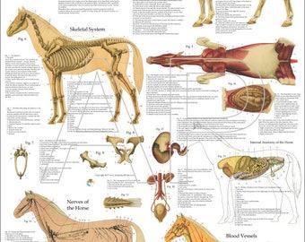 "Horse Anatomy Poster - 24"" X 36"""