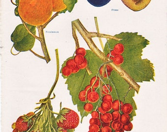 vintage 1920's fruit print with strawberry, persimmon, prune, and currants, for some shabby chic home decor.