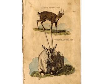 1801 ANTIQUE ANTELOPE ENGRAVING original antique animal print circa 1801