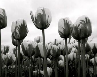 Black and White Tulips 8x10 print