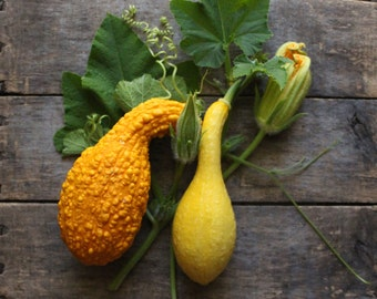Crookneck Summer Squash, heirloom seeds, organic vegetable seeds, vegetable garden, open pollinated seed, gardener, summer squash seeds