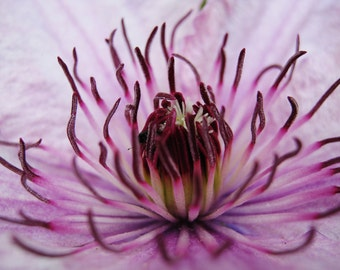 Clematis in Close Up