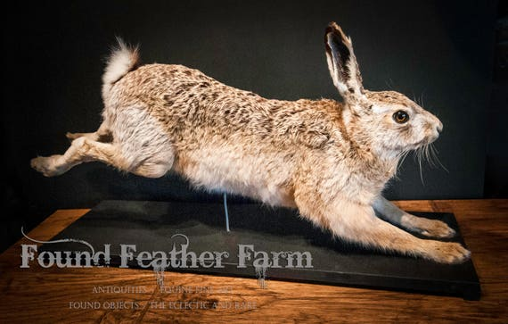Beautiful Antique European Rabbit Taxidermy on Wooden Display Stand