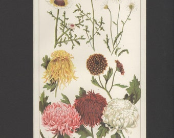 Vintage 1918 Botanical Chrysanthemums Flower Illustration