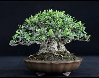 "Olive Tree""SURI""Seeds (50pcs)From Holyland season 17/18,Fresh Seeds,Bonsai,Plant Olive Tree Micro Bonsai Ancient Olive Tree SURI Grow Olive"
