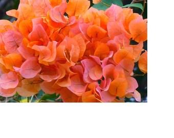 Bougainvillea Seeds (Color: Orange). Qty. 20  Seeds