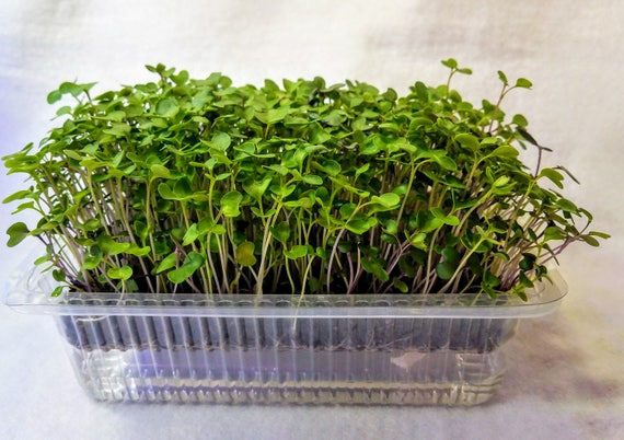 Microgreen Salad, Auto Watering MicroFarm Kit, You Cannot Get Better Nutrition, Fresher