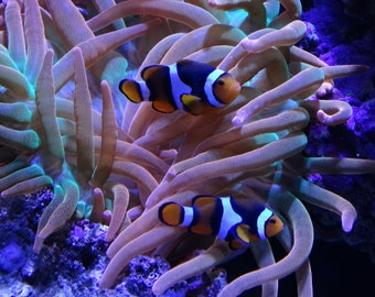 Picture of Two Clown Fish With Sea Anemone
