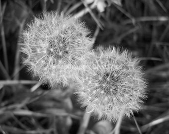 Fluffy Dandelion Seed Heads Black and White Photograph