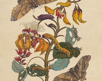 "Maria Sibylla Merian : ""Giant Silk Moth on a Purple Coral Tree"" (1705) - Giclee Fine Art Print"