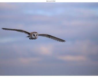 Photo print 'Barn Owl at Dusk'