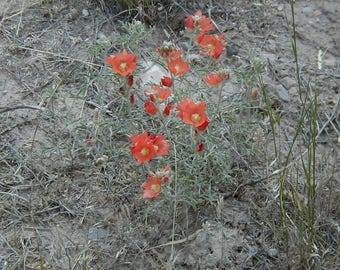 Scarlet Globemallow Wildflower Packet