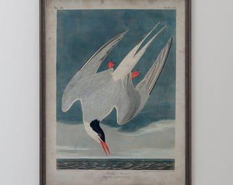 Arctic Tern: Unframed Vintage Art Reproduction - John James Audubon, Birds of America, Circa 1820's