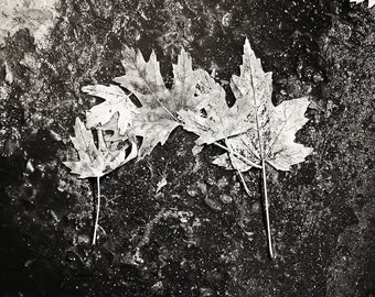 Black & White Fine Art Photo Five Leaves Home Decor Traditional Archival Print Gift Under 50