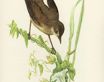 Vintage lithograph of the Savi's warbler from 1953