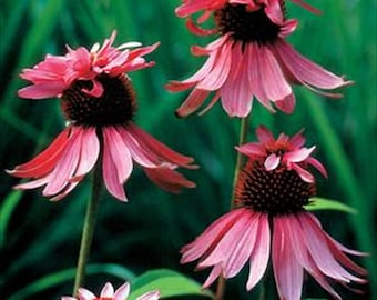 Echinacea Cone Flower - Double  Decker  Perennial ... seeds galore