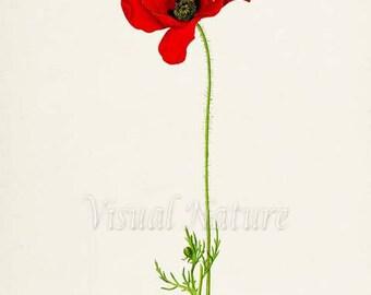 Poppy Flower Art Print, Botanical Art Print, Flower Wall Art, Flower Print, Floral Print, Home Decor, Red Poppy Art Print