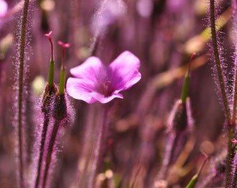Purple flowers, Nature Photography, Spring Flowers, Garden , Digital Download, Wall Art, Botanical Photograph