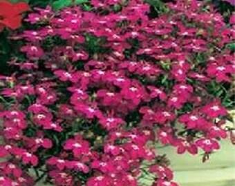 Lobelia Erinus Rosamond Flower Seeds/Annual 50+