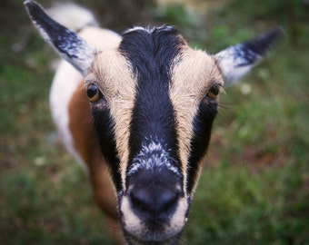 Blueberry - goat photo print