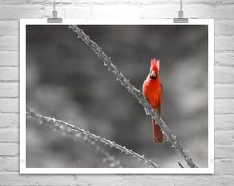 Cardinal Bird Picture, Sabino Canyon, Tucson Arizona, Bird Photography, Picture Gift, Wall Art, Canvas Print, Red Cardinal, Wildlife Art