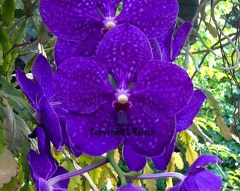 Purple Vanda Orchid in Bloom in Color Instant Download Photography Printable Art