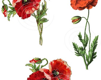 Vintage Botanical Clipart Poppy Flowers Red Poppies Digital Clipart