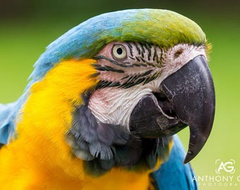 Blue and Gold Macaw Photographic Print or Canvas for Wall