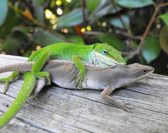 Love Bites - Two Anole Lizards Mating Photo Print - Green Male Brown Female