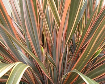 Phormium Tenax Seeds, New Zealand Flax, Ornamental Grass, Attracts Hummingbirds