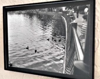 Ducks on Lake Eola - A Framed 5 x 7 Photo (non-digital)