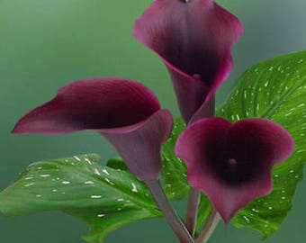 Calla lilly bordaux flower seeds,193, holly maries lilly,flower seeds,  flower ,spring flower,gardening