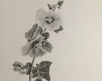 Hollyhocks study in charcoal