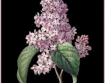 antique french illustration botanical print purple lilac bush black background digital download