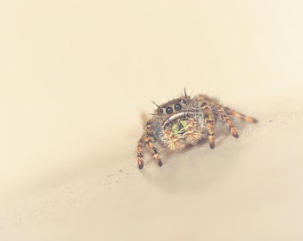 Jumping Spider Color Photo Print { brown, eyes, sand, teddy bear, sunshine, sunlight, wall art, macro, nature & fine art photography }