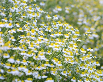 German Chamomile Seeds (~1,000): Certified Organic, Non-GMO, Heirloom Seed Packet