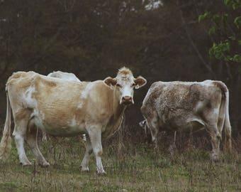 Hometown Cows