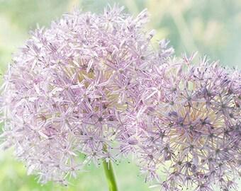 Nature Photography, Flower Wall Art, Purple Flower Decor, Allium Print, Zen Art, Nursery Decor