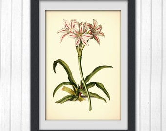 Redoute art, Botanical Digital print, white flower, Botanical Illustration, Pierre Redoute vintage bookplate,  8 x 11 wall art, No 182