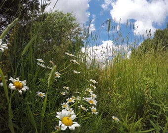 Spring Day, Daisy, Flowers, Summer, Digital Download, Photography, GoPro