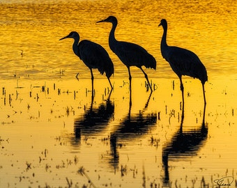Sandhill Cranes, Sunset Reflections, Birds, Bosque del Apache, New Mexico, Nature Photo, SynVisPhotos,  Steve Traudt, Home Decor