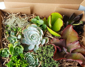 Succulents Gift Box, Succulent Plants x 12, Succulent Lover, Gardener Gift, Earth Lover, Natural Gift, Plants, Nature, FREE SHIPPING