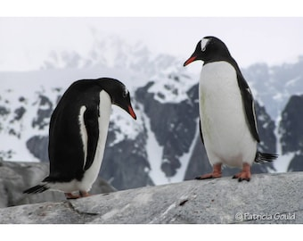 Two Gentoos - photo of penguins in Antarctica - framed 19 x 24 ready to hang