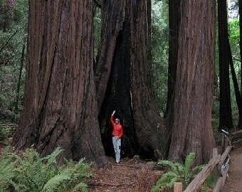Coast Redwood Tree Seeds, Sequoia sempervirens - 25 Seeds