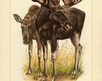 Vintage lithograph of the moose or elk from 1956