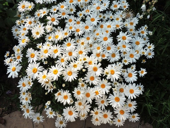 SILVER PRINCESS Live Shasty Daisy Plant Perennial Long Lasting Summer Bloom Flowers Attract Butterflies Dwarf 12