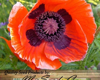 BIG PACK - (50,000) Perennial Orange-Scarlet Oriental Poppy Flower Seeds - Papaver orientale - exotic variety in gardens with cooler climate