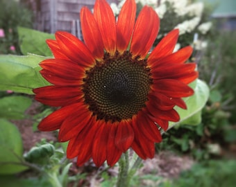 Velvet Queen Sunflower Seeds, Red Sunflowers, Farmers Market Cut Flower Favorite, Easy to Grow Sunflower Seeds