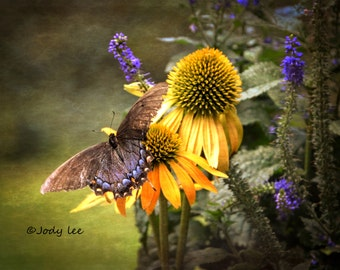 Swallowtail, Butterfly Photography, Butterfly Print, Floral, Cone flower,Fine Art Photography, Nature, Wall decor, butterflies