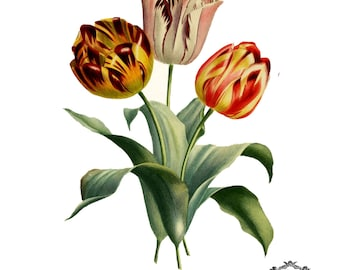 Three Vintage Tulips, floral Illustration tattoo, tulip tattoo, flower tattoo,   Body Art, Wickedly Lovely Skin Art Temporary  tattoo